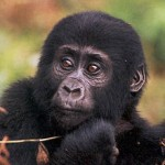 Mountain_gorilla_young