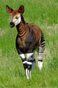 okapi_photo
